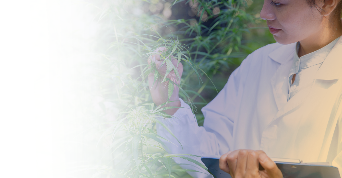 header article Cannabis